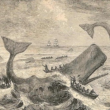 Sperm whales in 19th century shared ship attack information