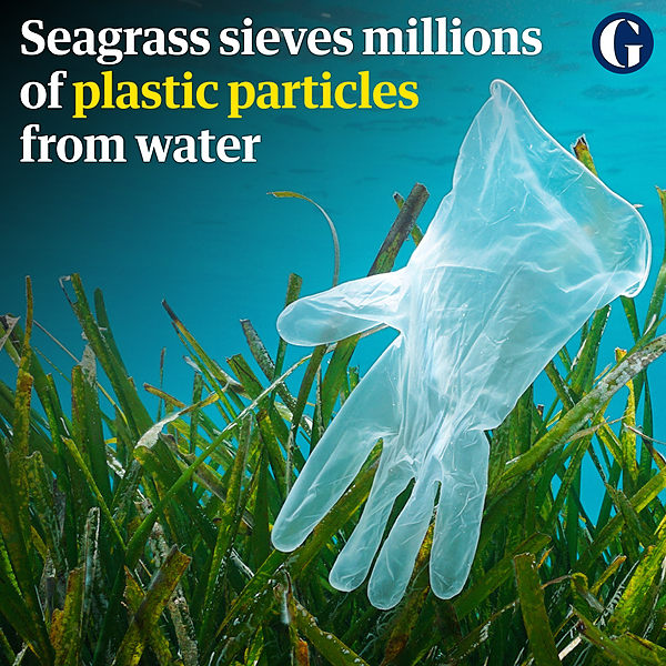 Seagrass 'Neptune balls' sieve millions of plastic particles from water, study finds