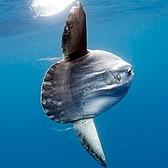 The Atlantic A Big, Weird, Pancake-Shaped Fish Keeps Surprising Beachgoers Link Thumbnail | Linktree