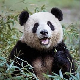 The Atlantic The Giant Panda Is a Closet Carnivore Link Thumbnail | Linktree