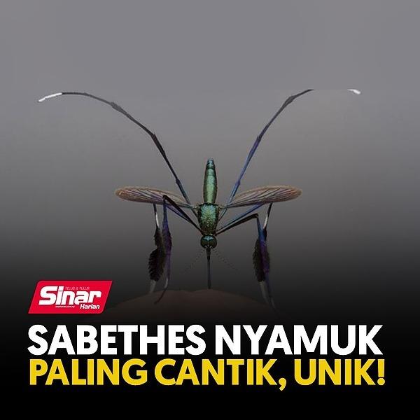 @sinar.harian Sabethes nyamuk paling cantik, unik! Link Thumbnail | Linktree