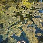 Algal Blooms Update