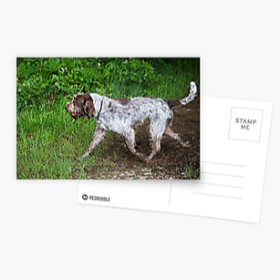Spinone Postcards