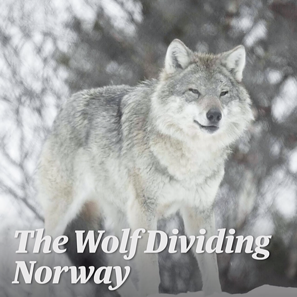 The Wolf Dividing Norway