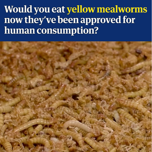 Yellow mealworm safe for humans to eat, says EU food safety agency