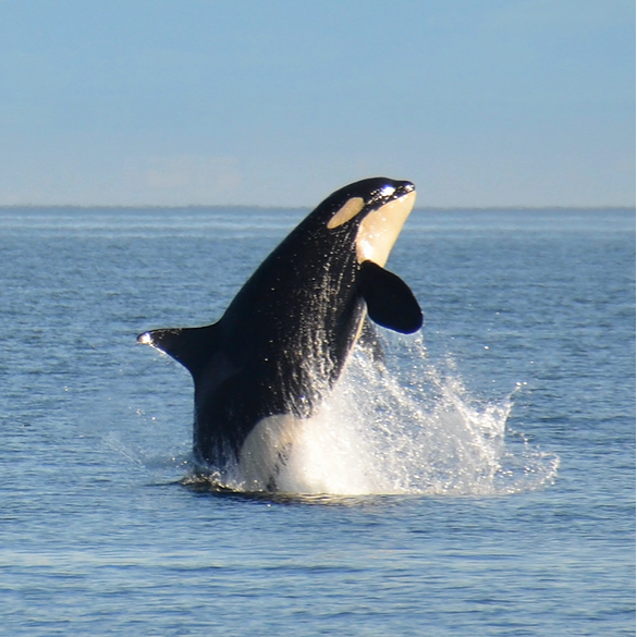 @oceana Save Southern Resident Orcas Link Thumbnail   Linktree