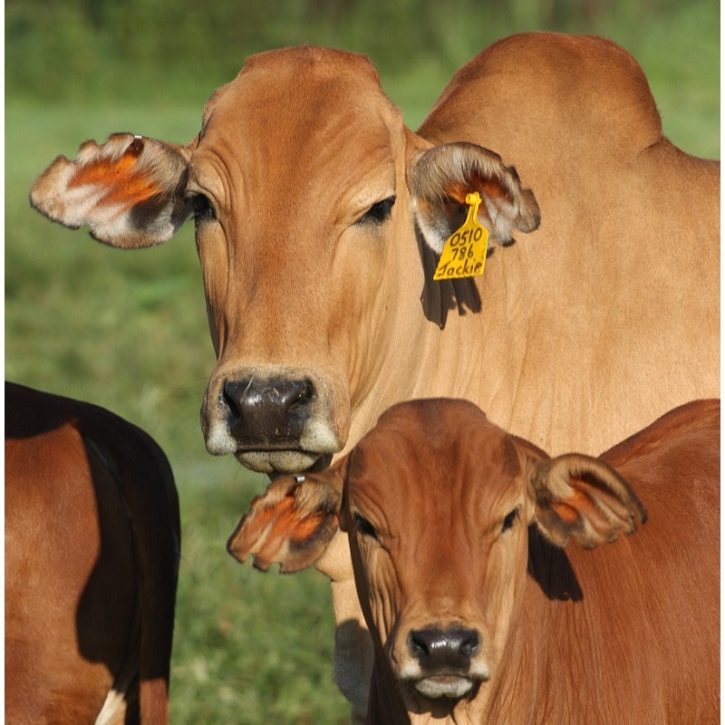 About Boran Cattle