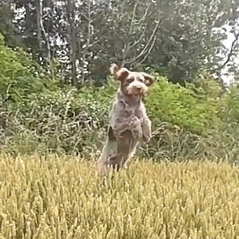 Spinone Happiness video
