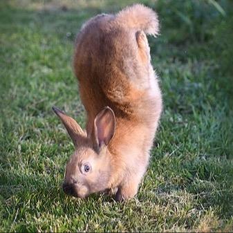 The Genetics of rabbit handstands