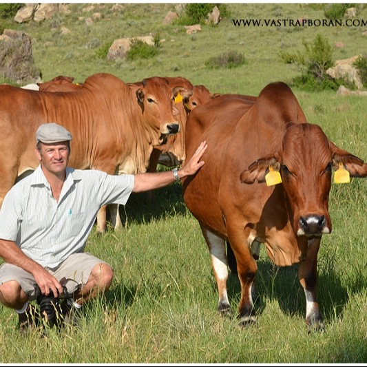 Why Boran Cattle?