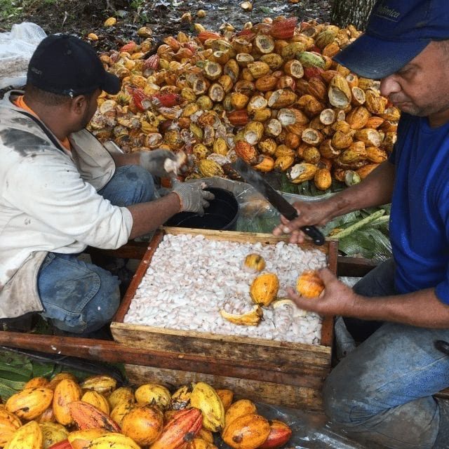 A Step-by-Step Explanation of Cacao Harvesting & Processing