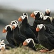 The Atlantic Why Hundreds of Puffins Washed Up Dead on an Alaskan Beach Link Thumbnail | Linktree