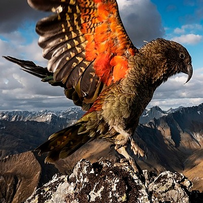 @guardian World's only alpine parrot may have moved to the mountains to avoid people Link Thumbnail | Linktree